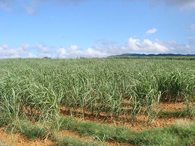 piantagione canna da zucchero